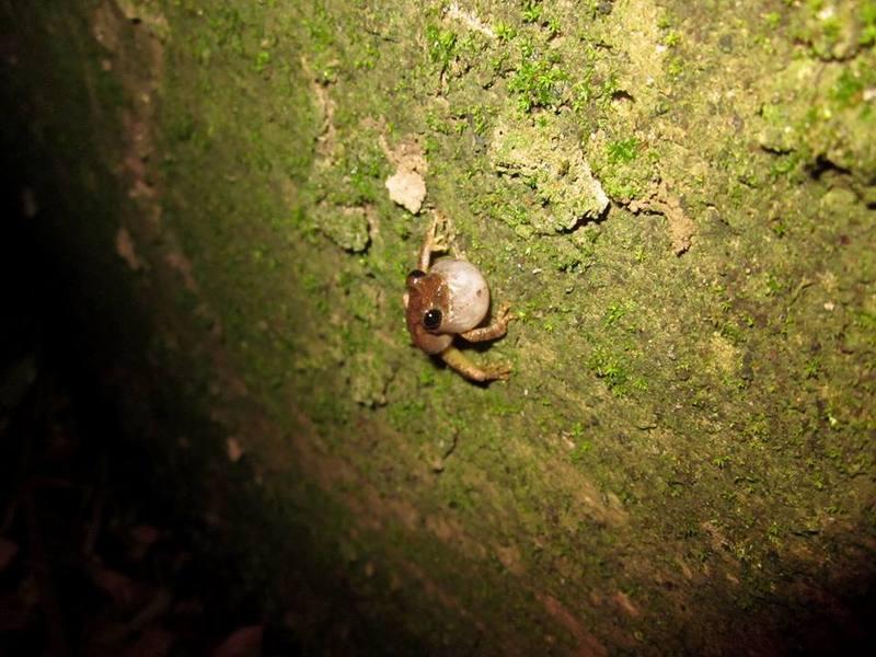 Mien-tien_tree_frog_calling_in_the_drain_(by_%e8%ad%9a%e6%96%87%e7%9a%93)