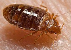 出國旅行,當心惱人的臭蟲跟你回來。〈photo by Wikipedia〉