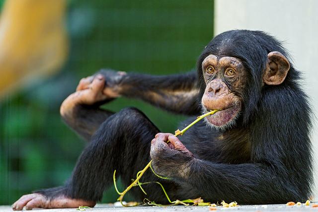黑猩猩沒有發展出烹飪的能力的第一個原因是不會用火,而另一個原因是牠們不信任其他成員會在烹飪時乖乖地等待。(photo byTambako The Jaguar on Flickr – used under Creative Commons license)