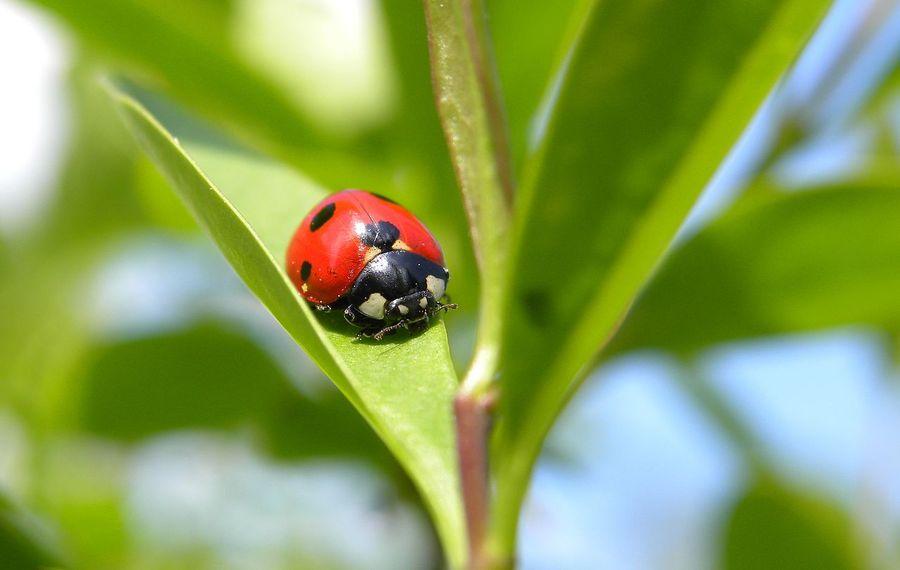 顏色愈鮮豔的瓢蟲,毒性愈強,也愈不容易被鳥類等掠食者捕捉。(photo by wikipedia)