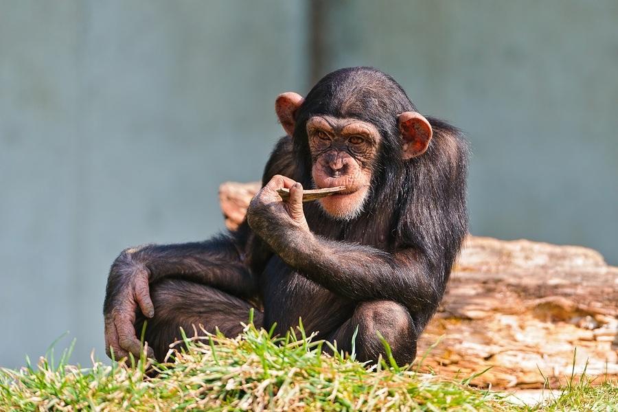 研究顯示,黑猩猩使用工具是本性使然,這項研究結果可望進一步了解人類演化之謎。(photo by wikipedia)