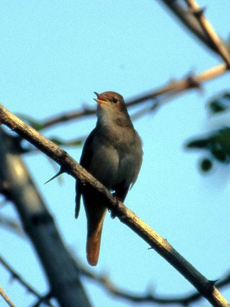 會唱歌的夜鶯爸爸,會花更多時間與精力來照顧雛鳥,也更得母夜鶯青睞。(photo by wikipedia)