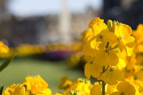 Detailed-picture-of-a-yellow-flower-with-the-town-centre-in-the-background