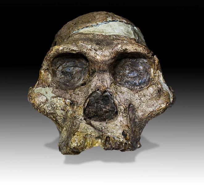 包括「非洲南方古猿」等遠古猿人,在約376萬年前就已將玉米、甘蔗及捲心菜等塊莖植物做為主要食物來源之一。(photo by wikipedia)