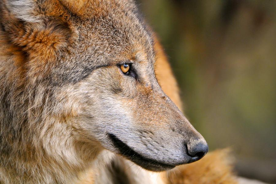 美國研究發現,當狗狗愈到難題時,多會回頭看著主人,尋求鼓勵與幫忙,然而狼會專注在解決問題本身。(photo by Tambako The Jaguar on flicker - used under Creative Commons license)