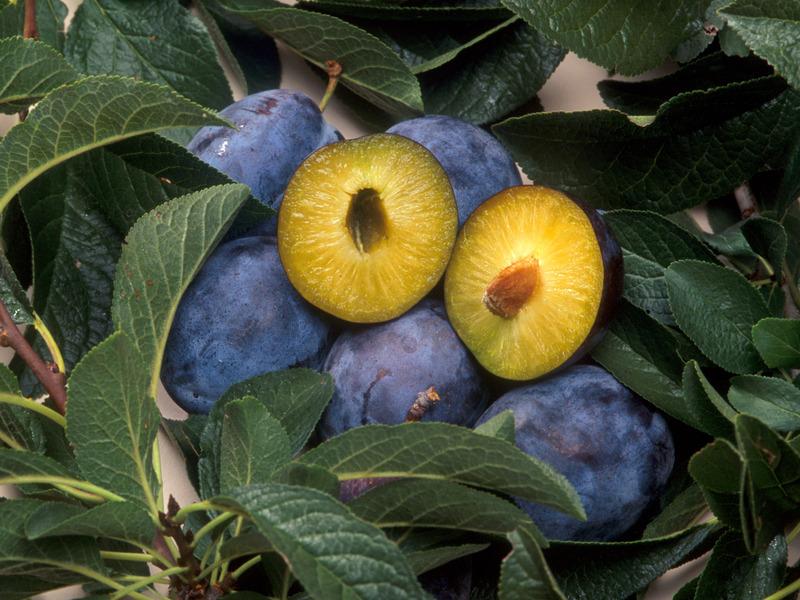 反對理由則有:基改食物品會造成人類過敏、癌症等不良影響;會破壞生態環境與原生族群基因。(photo by Wikipedia)