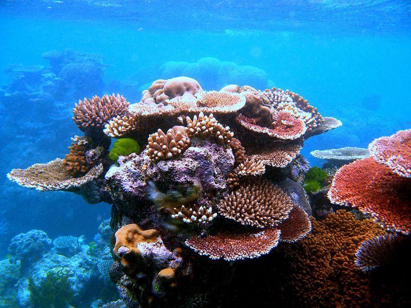 在一定溫度和乾淨的海水生活的珊瑚,對人類了解重金屬的空氣汙染、海洋汙染有很大的幫助。(Photo by Wikimedia Commons )