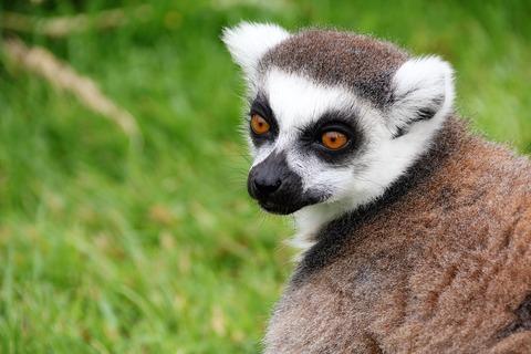 Lemur-1895080_960_720