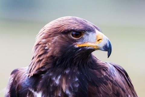 Golden-eagle-1728223_1280