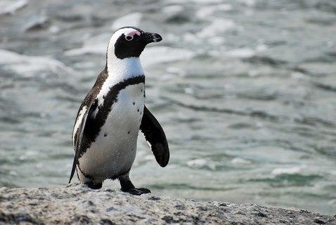 1600px-african_penguin_near_boulders_beach