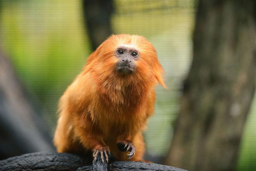 疫情讓許多瀕臨滅絕的物種失去人類保護,可能讓牠們滅絕的機率大幅增加。圖為金獅面狨。(Photo from Wikimedia Commons)